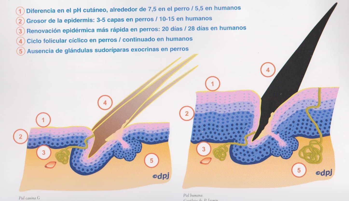 gráfico de las capas de la piel de un perro