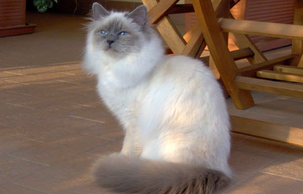 Gato Birmania